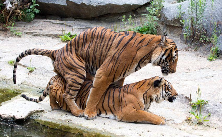 tijgerpunten